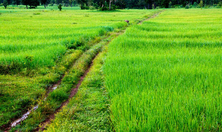 country road to rice farmland photo