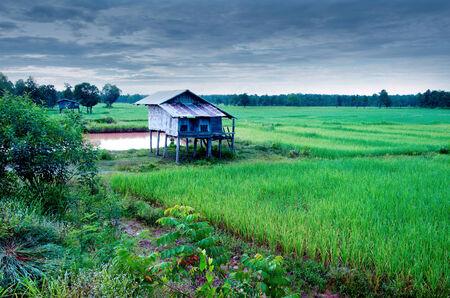 Thai farmer house and rice green field photo