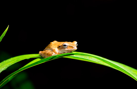 stay in the green: small brow frog stay on green orchid leaf, dark background.