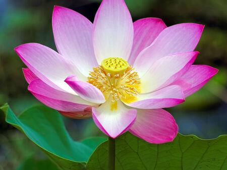 pink  leaf: wonderful lotus