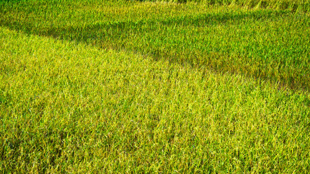 plentifully: rice field
