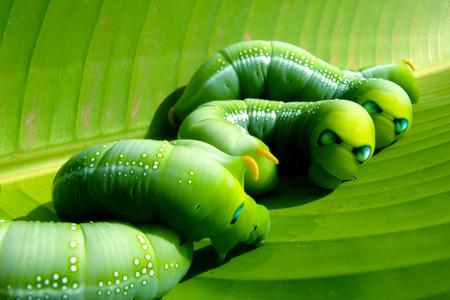 gusanos: gusanos verdes en hoja de pl�tano