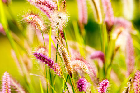 grass flower: grass flower in morning Stock Photo