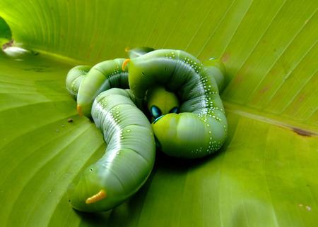 gusanos: gusanos verdes