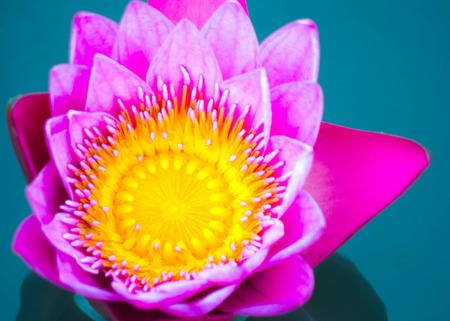 close up lotus,show pollen photo