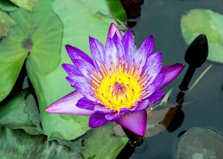 close up of purple lotus photo