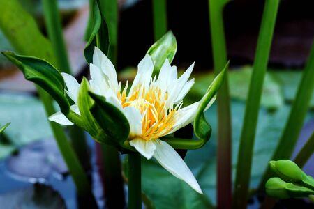 victoria park: white lotus on lotus garden