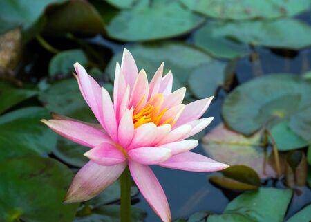 pink lotus: beautiful pink lotus in garden Stock Photo