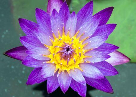 close up purple lotus,show pollen and petal photo
