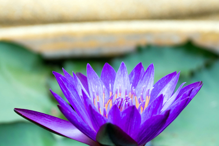 purple lotus: purple lotus on lotus garden Stock Photo