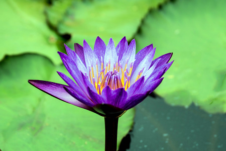 purple lotus on lotus garden photo