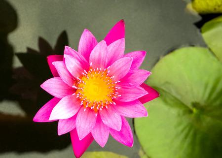 pink lotus: closeup of pink lotus