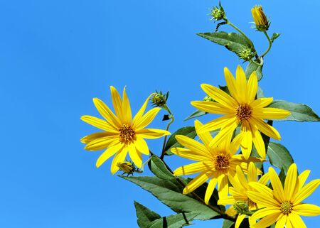 jerusalem artichoke: Jerusalem artichoke or sunchoke on blue sky background Stock Photo