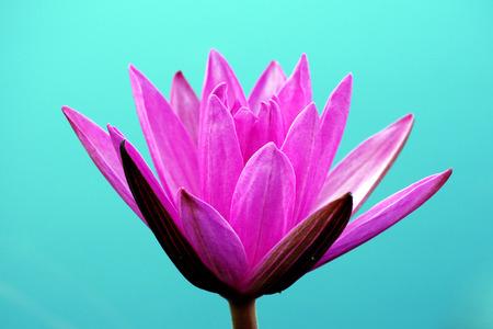 pink lotus: pink lotus