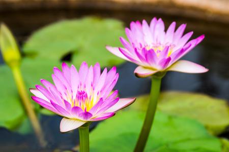 blossom purple lotus photo