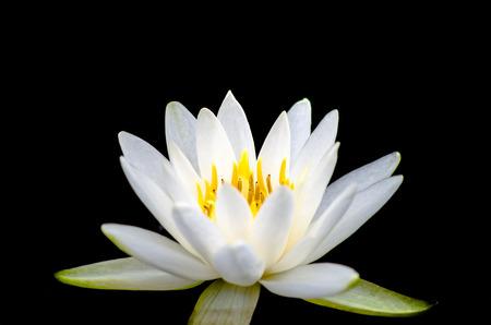 blossom white lotus photo