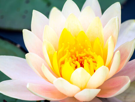 flor de loto: loto flor amarillo Foto de archivo