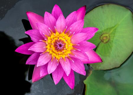 flor morada: loto lindo