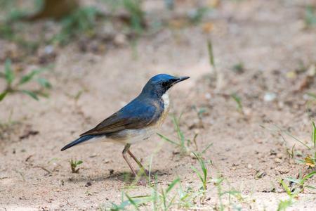 robin bird: Siberian Blue Robin bird