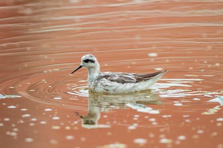 Shorebird relaxing in the lagoon