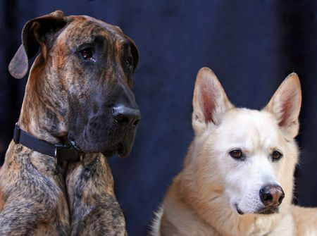 A studio shot of a Great Dane and a German Sheppard in front of a black background. photo