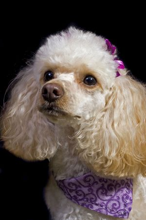 An apricot toy poodle poses isolated against a black background. 版權商用圖片