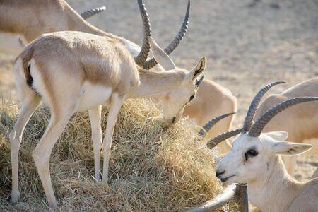 Sand Gazelle