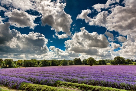 field of flowers: Lavender field in full bloom in Banstead