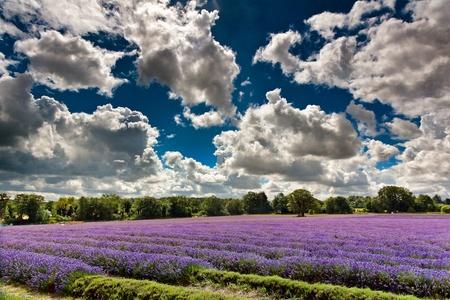 Lavender field in full bloom in Banstead