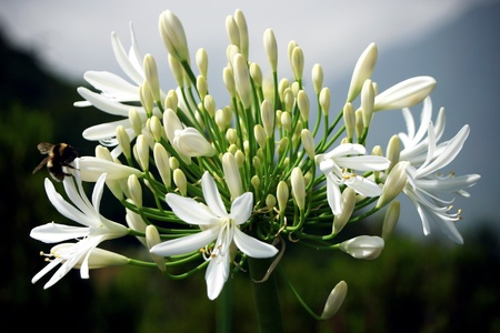 Wild white Agapanthus (agapanthaceae} by the roadside in Madeira photo