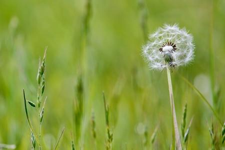 Close-up of a Dandelion (taraxacum) seed head in a field in Godstone Surrey photo
