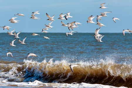 Little Terns (sternula albifrons) flying along the beach at Winterton-on-Sea Norfolk Stock Photo