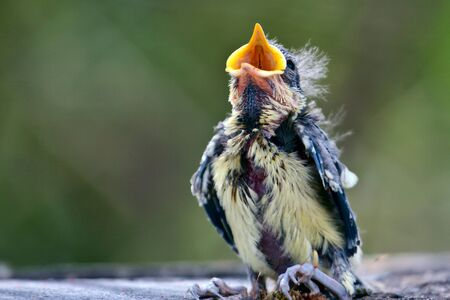 fledgling: Blue Tit (cyanistes caeruleus) fledgling just evicted from nest Stock Photo