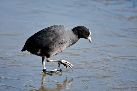 Coot (fulcia atra) gingerly walking on the ice at Warnham Nature Reserve photo