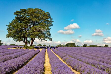 A shady place in a field of Lavender