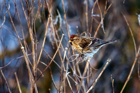 Common Redpoll (carduelis flammea) feeding on plant seeds Stock Photo - 8369826