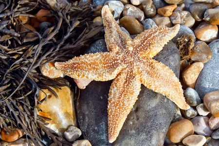 ashore: Common Starfish (Asterias Rubens) washed ashore at Dungeness