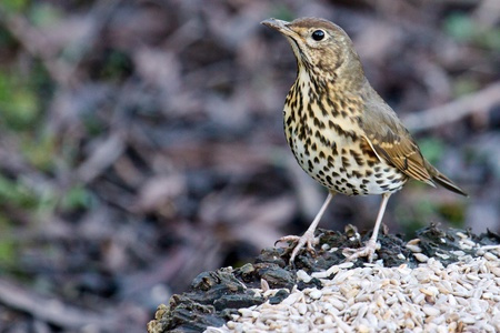 Song Thrush photo