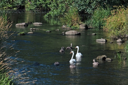 Mute Swans with Cygnets on the River Aln photo