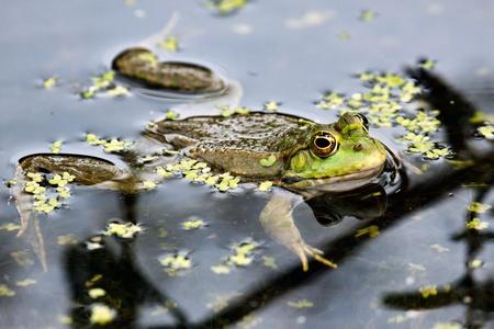 Marsh Frog photo