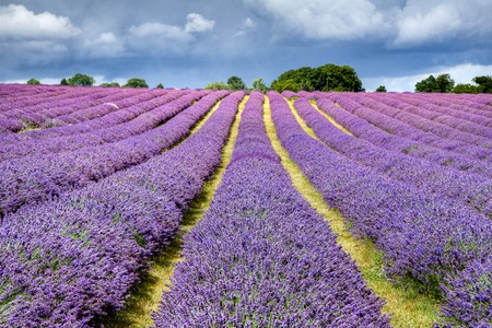 flowers horizontal: Lavender field in Banstead Surrey Stock Photo