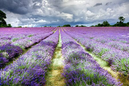 Lavender field in Banstead Surrey Stock Photo