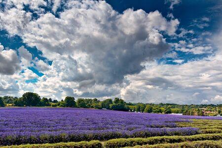 Lavender field in Banstead Surrey photo