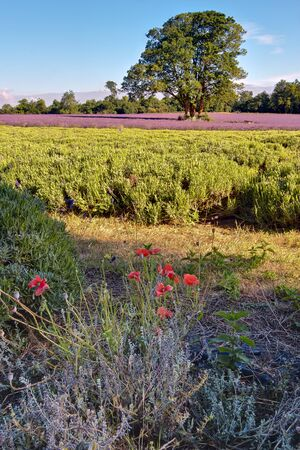 Poppies growing in a Lavender field photo