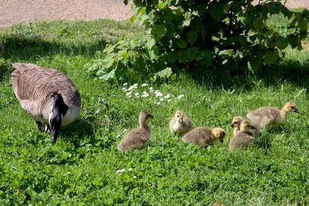 Canada Goose (branta canadensis) and goslings on the banks of the River Thames Stock Photo - 8401464