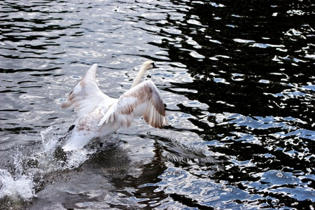 take a history: Mute Swan (cygnus olor) taking off on the River Thames