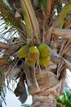 cocos: Coconut Palm (cocos nucifera) tree in Lanzarote Canary Islands Spain Stock Photo