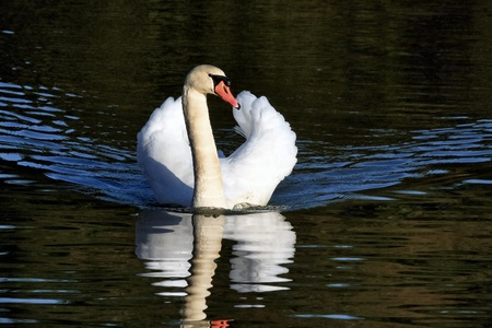 Mute Swan (cygnus olor) at Warnham Nature Reserve near Horsham West Sussex Stock Photo - 8361916