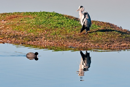 Heron and Coot photo