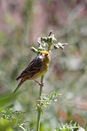 clinging: Canary (serinus canaria) clinging to a thistle in Madeira Portugal Europe
